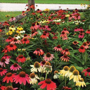 Echinacea is one of many perennials to start from seed this fall. It will sprout in spring!