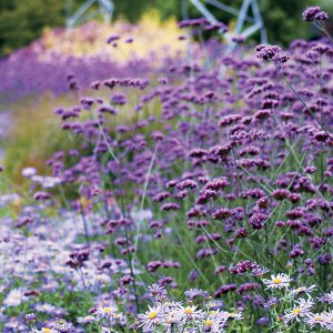 "Verbena bonariensis is happy to reseed in your garden! When letting plants self-sow, choose varieties that have no ""name"" -- just a genus and species. These are open-pollinated and will come true from seed."
