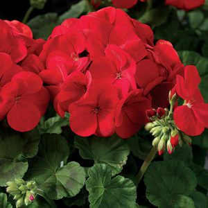 Can't say goodbye to your Geraniums but don't have the time to root cuttings? Dig up the plant and pot it up for indoor color this winter!