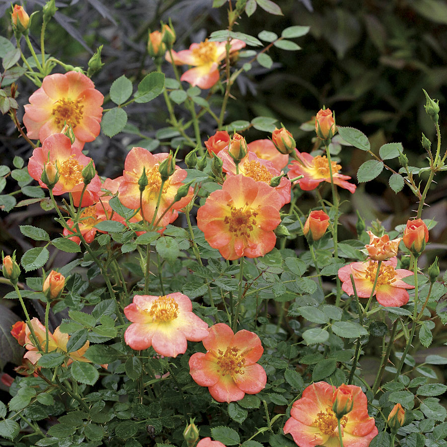 Simple Rose Garden: What To Do For Your Garden In October
