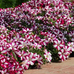 Image of Petunias