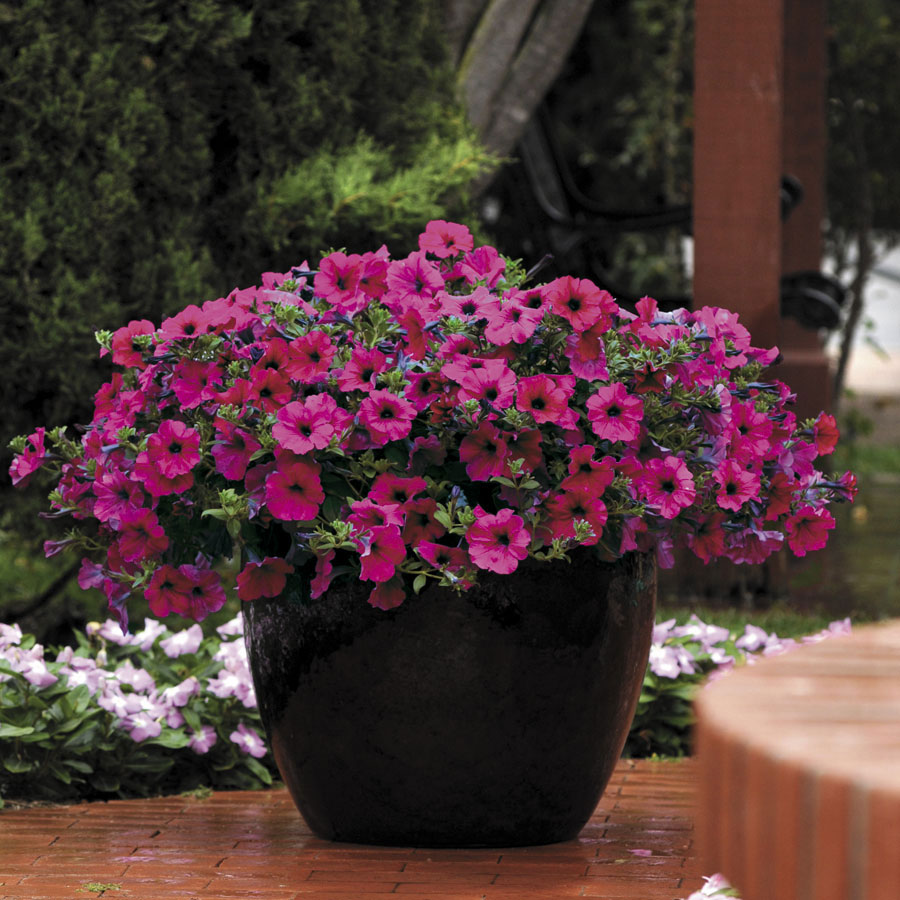 All The Types Of Petunia Wave Official Blog Of Park Seed
