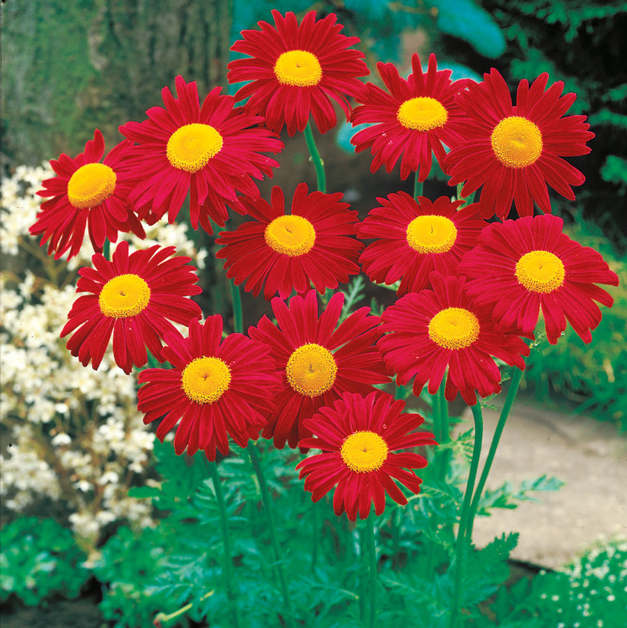 Daisy daisy im half crazy official blog of park seed unlike most of the other daisies mentioned here english daisy is a perennial zone 4 8 and it flowers izmirmasajfo