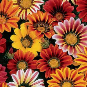 Image of Daisies
