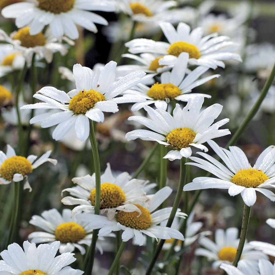 Daisy daisy im half crazy official blog of park seed everyone loves the button center and long slender rayed petals of the daisy whether they are tiny like chamomile or massive like shastas izmirmasajfo