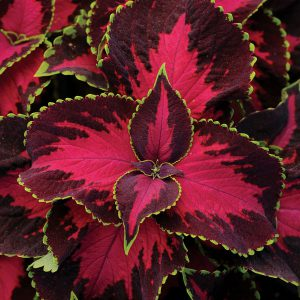Image of Coleus
