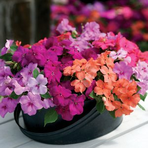 Image of Impatiens