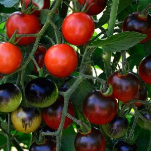 Image of Midnight Snack Hybrid Tomato Seeds