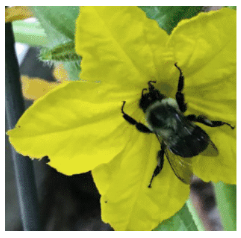 Image of Bumblebee on Cucumber Flower