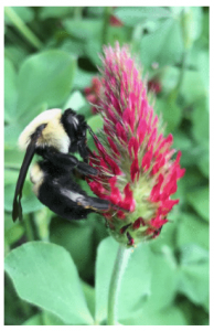 Image of Bee on Crimson Clover