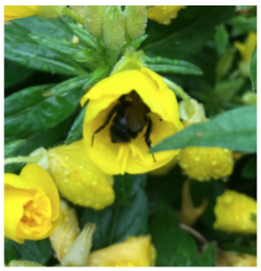 Image of Bumble Bee in a Sundrop