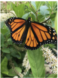 Image of Monarch on Itea Flower