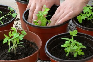 Image of Planting Tomato Seedlings