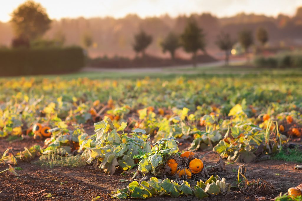 Image of Pumpkin Field