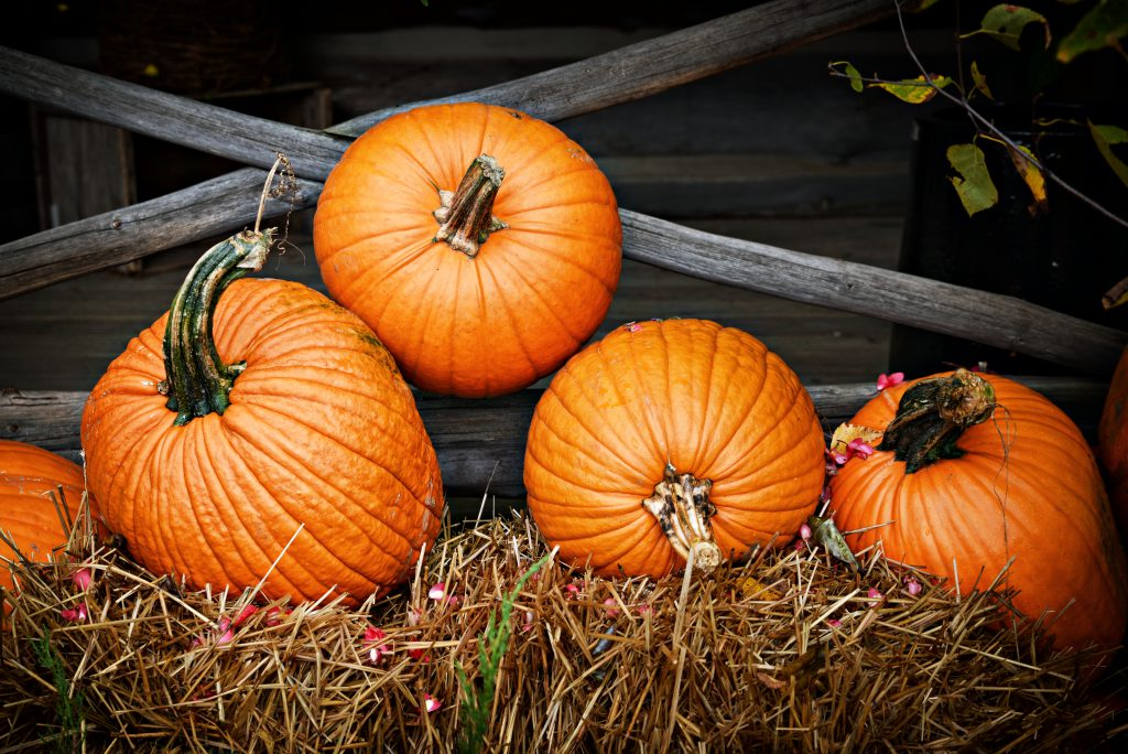 Image of Pumpkins Along the Fence
