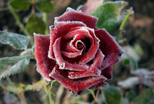 Image of a Rose with Frost