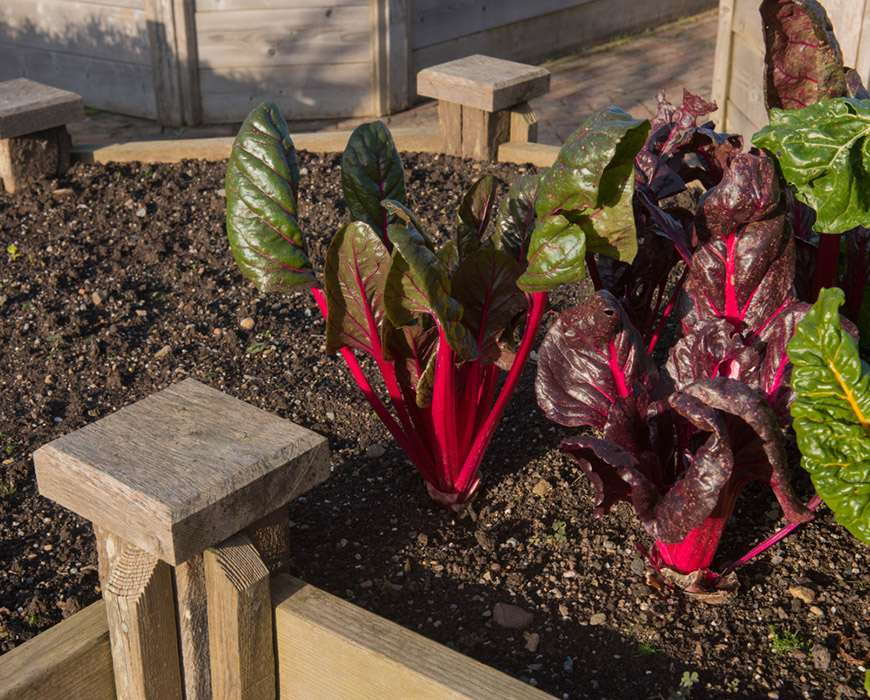 Home Grown Organic Colourful Swiss Chard