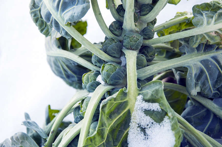 brussels sprouts in field covered snow