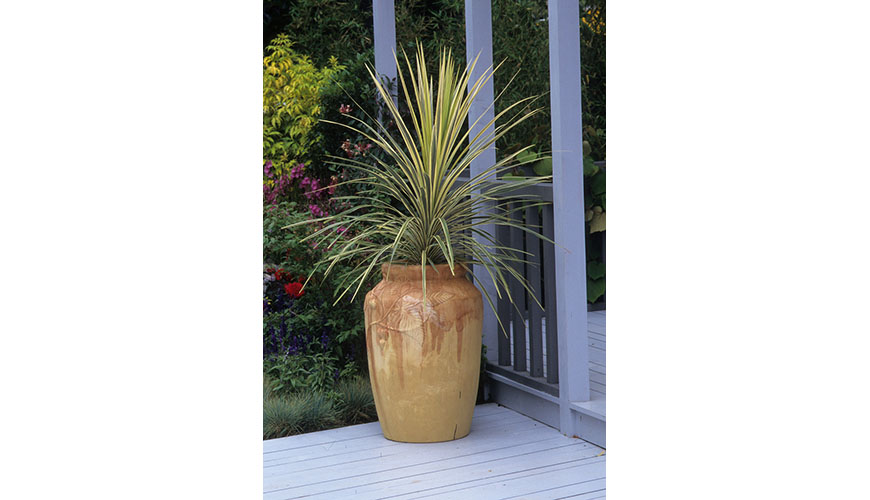 cabbage palm in pot
