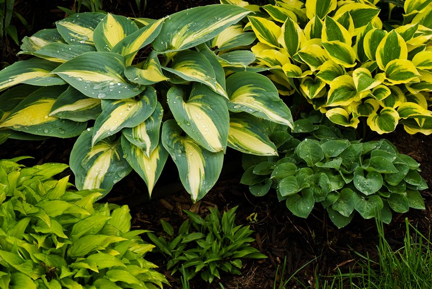 collection of miniature hostas growing