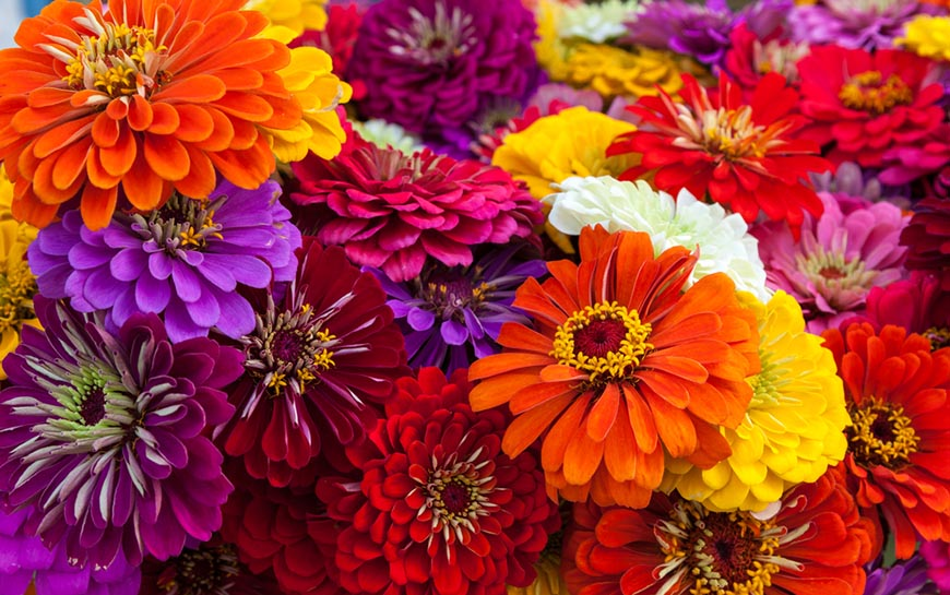 colorful bouquet summer zinnias