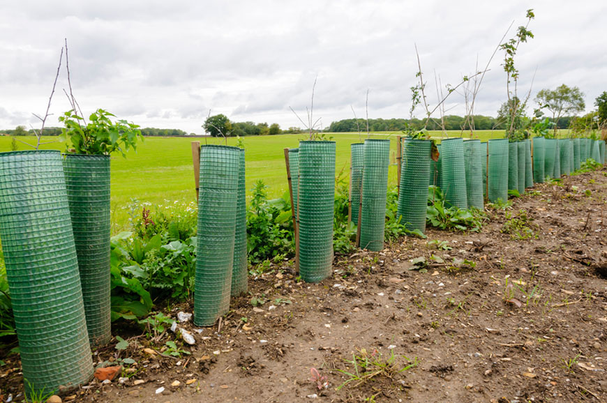 Newly planted row of hedging