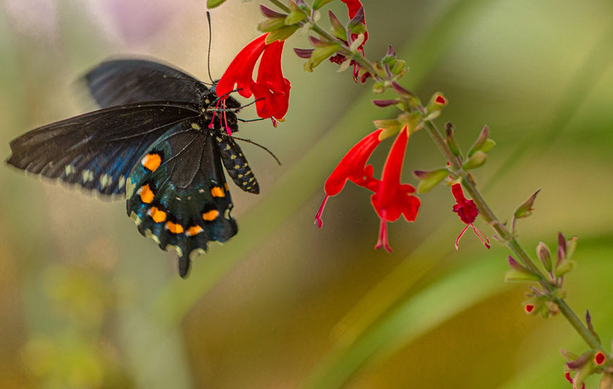 PIPEVINE SWALLOWTAIL Butterfly at Red Salvia Flower