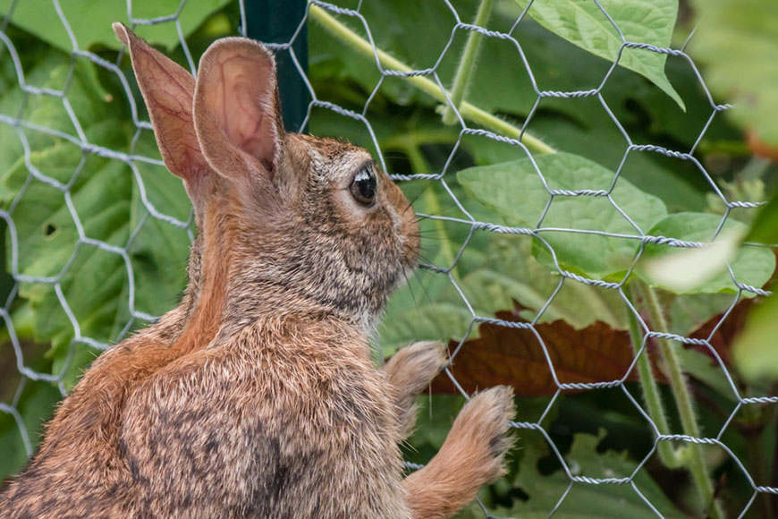 rabbit stands up and leans on a garden fence