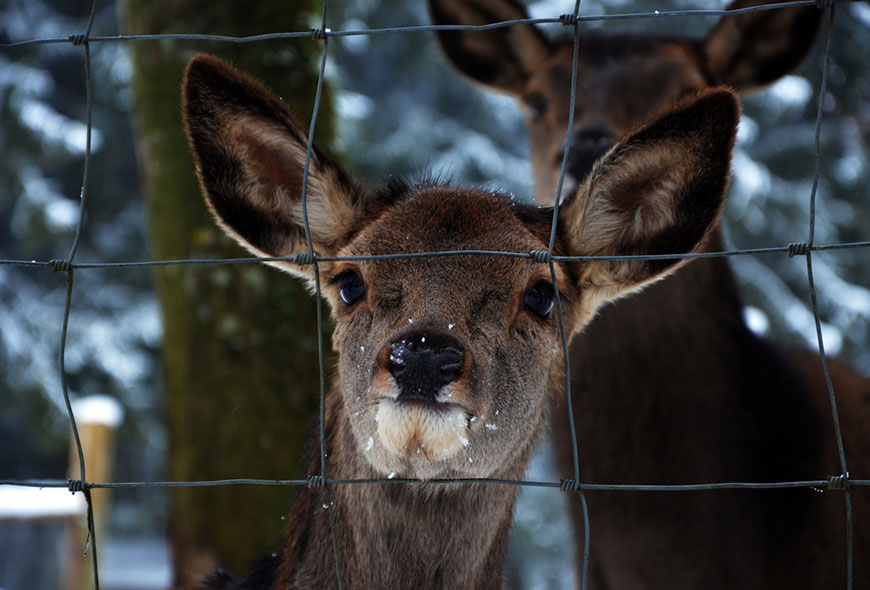 young deer with sad eyes behind fence