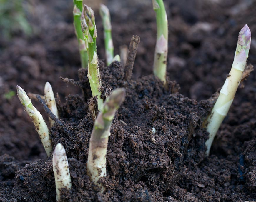 asparagus in soil closeup