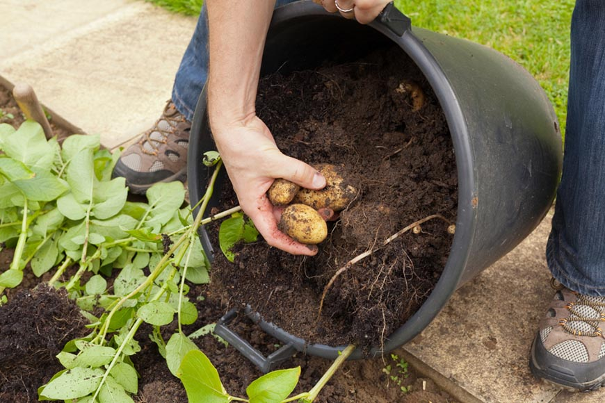 harvesting potatoes from bucket