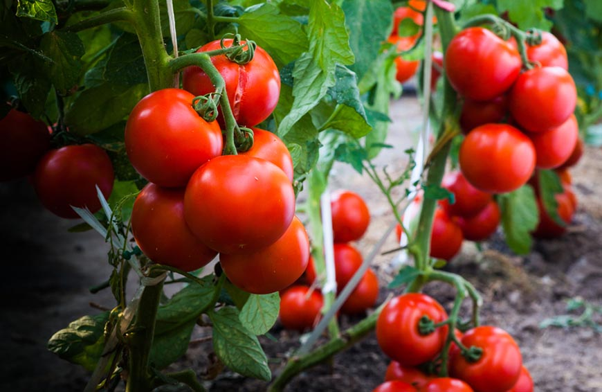ripe-tomatoes-in-garden