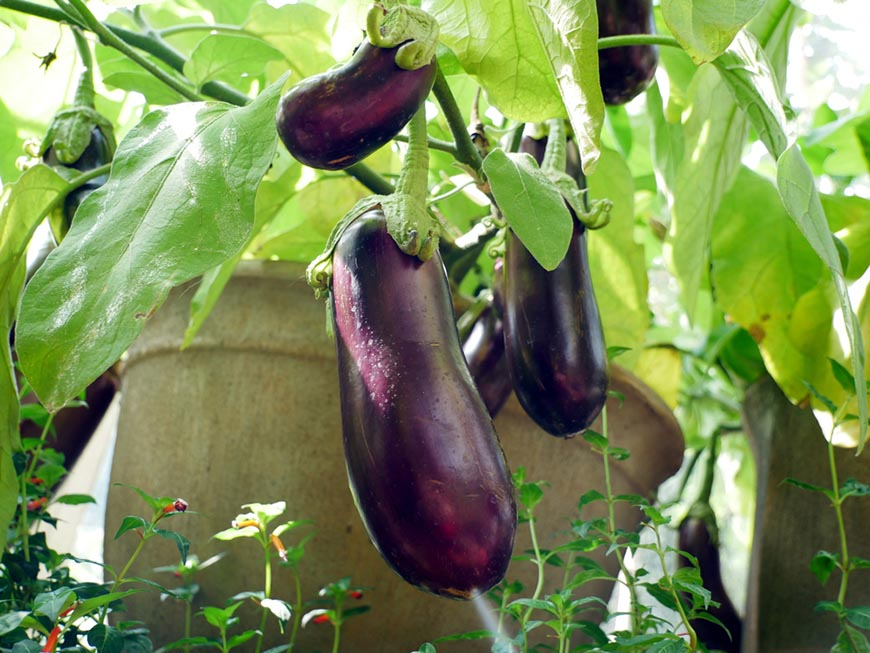 eggplants growing out of large pot