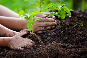 hands planting seedlings into soil