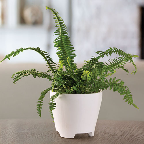 fern in white pot