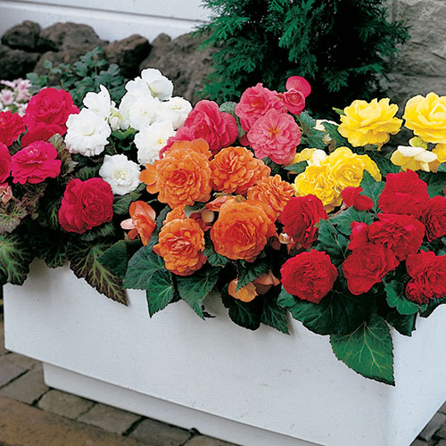 begonias in flower box