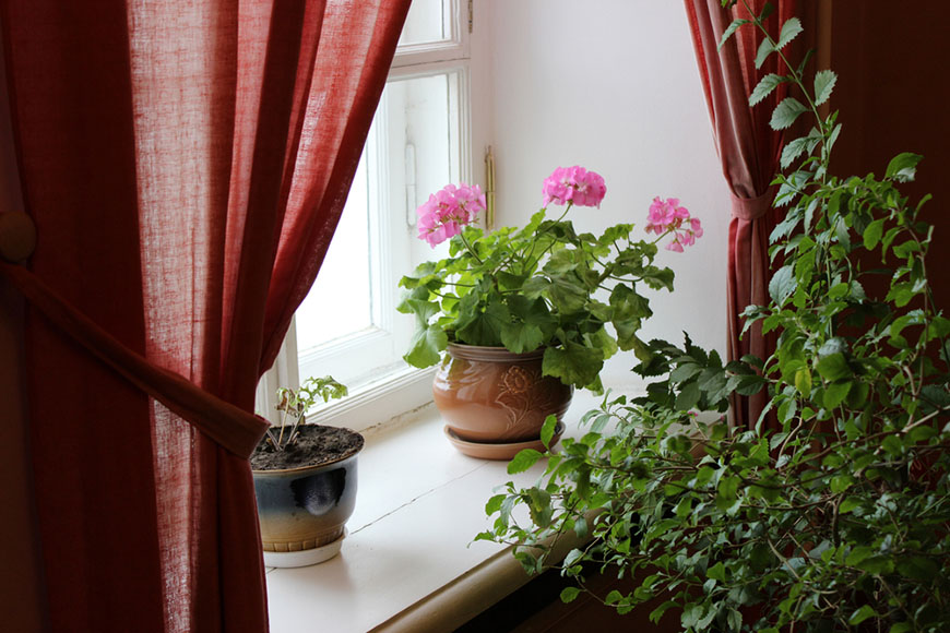 Geraniums and other indoor plants near the window in the room